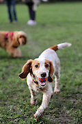 This is Cooper, a 5 month-old working cocker spaniel puppy, playing around in a London park.