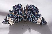 Colorful blue and white Monarch butterfly.