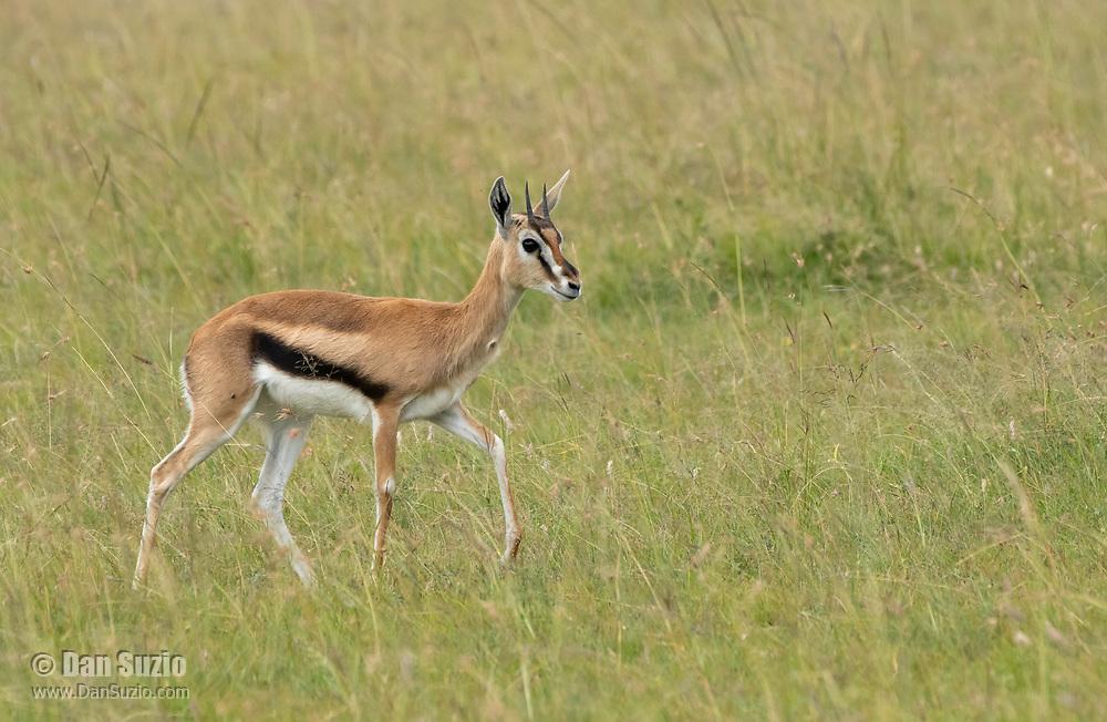 Juvenile Thomson's Gazelle, Eudorcas thomsonii, in Maasai Mara National Reserve, Kenya