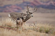 Trophy mule deer buck in Colorado