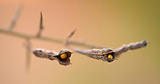Seedpods of the Tall Spiny Rest-harrow (Ononis spinosa) Photographed in Israel in October