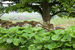 Butterbur. Petasites hybridus by the side of a lane in Yorkshire