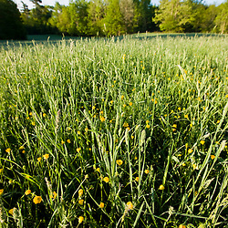 Buttercups in a hay field at Windrush Farm in North Andover and Boxford, Massachusetts.