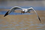 Stock photo of ring-billed gull captured in Colorado.  These gulls are numerous in the Rockies, ranging from Rocky Mountain National Park north to Montana.