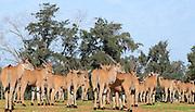 A herd of common Eland (Taurotragus oryx)