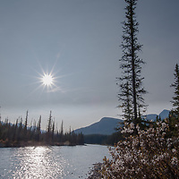 A willow bush blossoms with cotton beside the Bow River in Banff National Park, Alberta, Canada.