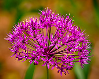 Allium. Image taken with a Fuji X-T2 camera and 100-400 mm OIS lens.