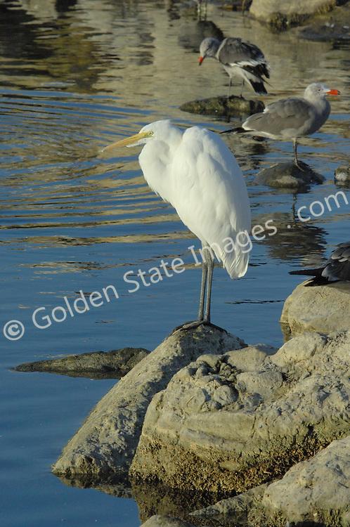 Range: California to South America    <br />   <br /> Species: Ardea alba
