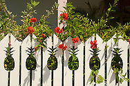 Hibiscus growing next to a fence with pineapple shaped cutouts;<br /> Dunmore Town, Harbour Island, The Bahamas