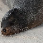 Galapagos Sea Lion (Zalophus californianus) sunning on the beach. Galapagos, Ecuador.