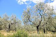 Olive tree (Olea europaea) Photographed in Umbria, Italy