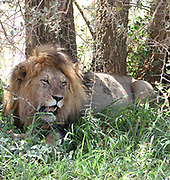 A male  lion (Panthera leo), its stomach bloated from a recent meal, rests in the shade of a tree.  Serengeti National Park, Tanzania.