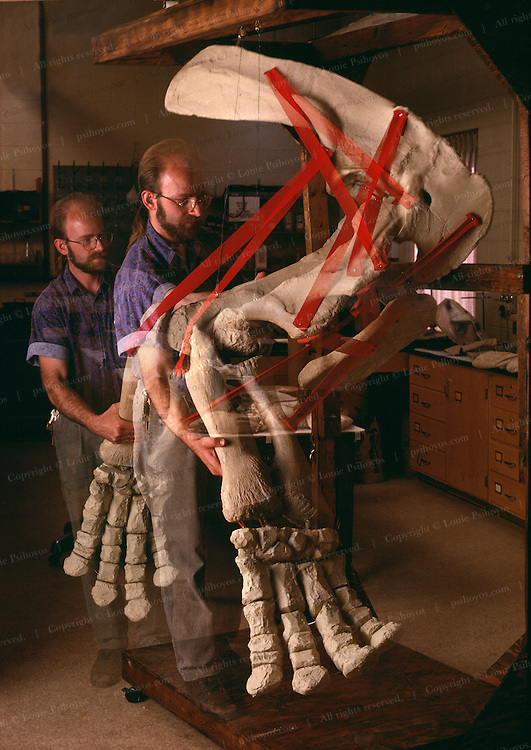 High-fidelity casts, universal joints, and elastic bands duplicating muscle attachments led Rolf Johnson of the Milwaukee Public Museum to the regrettable conclusion that ceratopsians could not gallop.