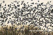00754-02709. Snow Geese (Anser caerulescens) flying from wetland at sunrise Marion Co. IL