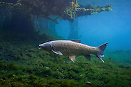 Grass Carp<br /> <br /> Isaac Szabo/Engbretson Underwater Photography