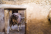A mule stands outside the door to the Berber leather tannery in Fes El-Bali with a new delivery of unwashed sheep skins.