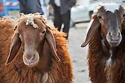 Sheep at the beduin market at Rahat, Negev, Israel
