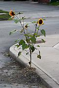Sunflow growing by a street on a sidewalk. sunflower, street, urban, sidewalk, flower, leaf, juxtaposition<br />
