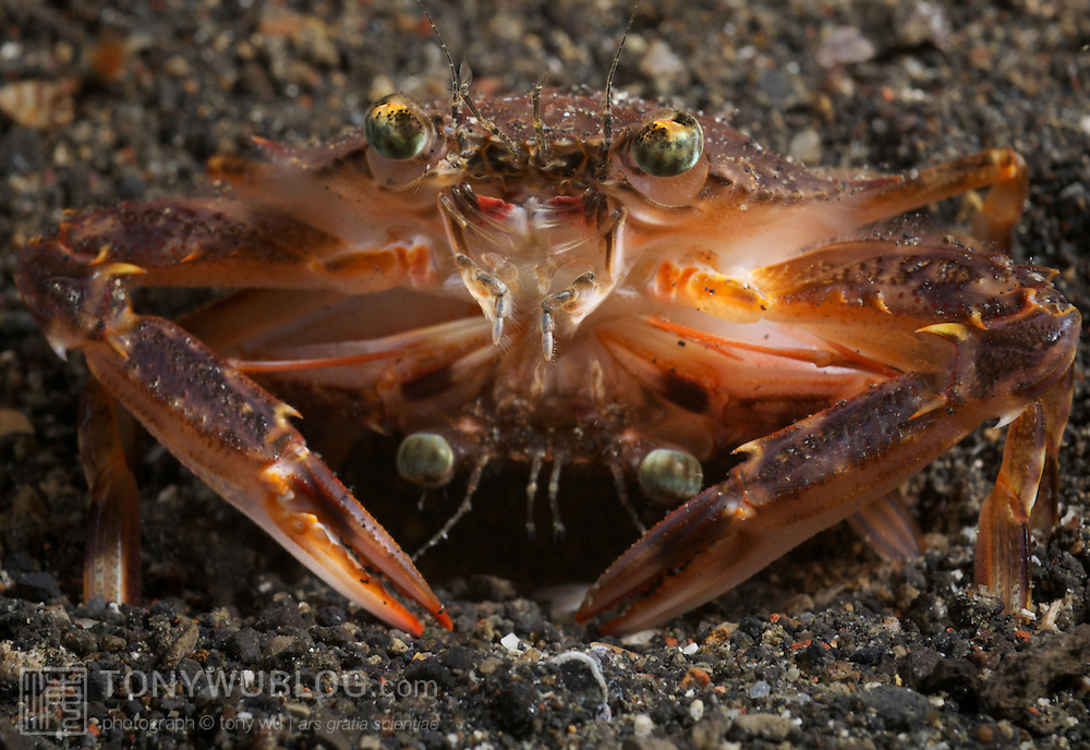 Portunid swimming crabs mating at night in Lembeh Strait, North Sulawesi, Indonesia. The male crab is on top. The female crab is underneath, flipped upside down.