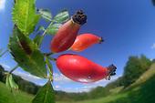 Eatable wild plants | Essbare Wildpflanzen