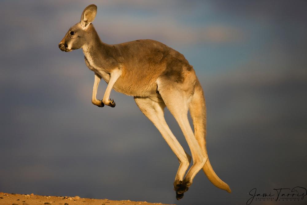 An female red kangaroo  (Macropus rufus)  hopping on a ridge in warm morning light,  Sturt Stony Desert,  Australia