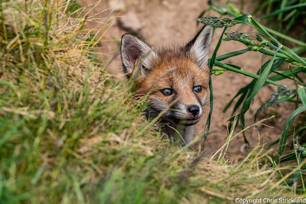 Kelso, Scottish Borders, Scotland, UK. 6th June 2021. A fox cub at the mouth of its family earth in the Cheviot Hills.