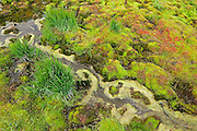 Colorful and diverse mosses and plants along a tiny creek in the Skolai Pass area of Wrangell-St. Elias National Park, Alaska.