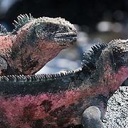 Galapagos Marine Iguana (Amblyrhynchus cristatus).  A pair sunbathes on a rock.