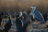 Grey Heron (Ardea cinerea) in a cormorant colony, Ijsselmeer, The Netherlands