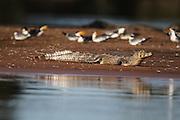 Pocone_MT, Brasil...Rio Cuiaba.Transpantaneira.Porto Jofre..Jacare do pantanal e Trinta Reis..Foto: JOAO MARCOS ROSA / NITRO