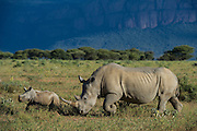 White Rhinoceros (Ceratotherium simum) Female & Calf<br /> Private Reserve, <br /> SOUTH AFRICA<br /> RANGE: Southern & East Africa<br /> ENDANGERED SPECIES