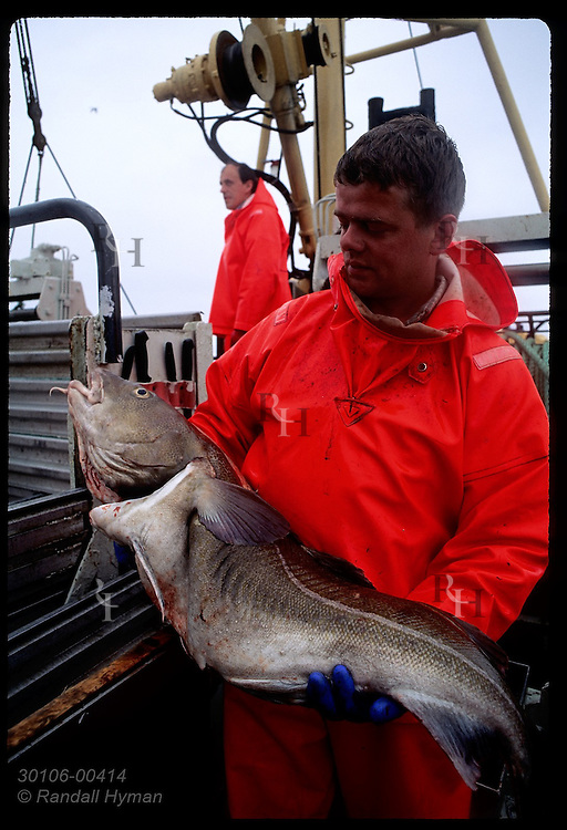 Fisherman cradles a large cod in his arms aboard gillnet boat in Faxafloi Bay. Iceland
