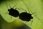 Grüne Stinkwanze (Palomena prasina) Paarung auf dem Eichenblatt.