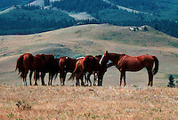 Small Herd of Horses with hills in background, Cypress Hills Park, Alberta Canada
