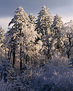 Late afternoon light illuminating red spruce forest covered with snow and rime ice, Yew Mountains, Monongahela National Forest, West Virginia.