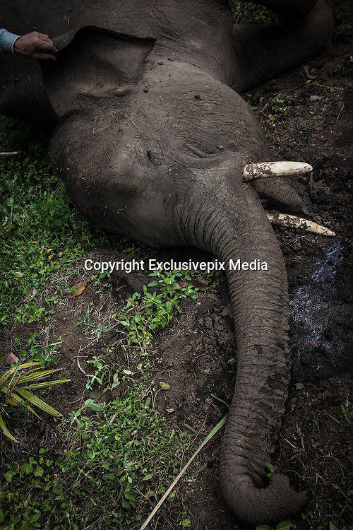 Feb. 19, 2016 - Aceh, Indonesia -<br /> <br /> The hand of residents seen on a witness the carcass of a wild Sumatran elephant who was found dead in the Karang Ampar village, Ketol district, Middle of Aceh, Aceh province, Indonesia on February 19, 2016. From the resident information, Sumatran elephant was killed on suspect by poison after the protracted conflict between humans and wildlife.<br /> ©Exclusivepix Media