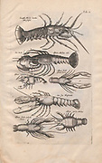 Lobsters Illustration from 'Historiae Naturalis De Exanguibus Aquaticis  libri IV' (Natural History of Sea animals book 4) by Johannes Jonston. Published 1665.
