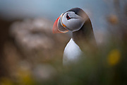 A puffin at dusk on the island of Heimaey, part of the Westman Islands, or Vestmannaeyjar, off the southern coast of Iceland
