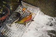 A Male Sockeye Salmon (Oncorhynchus nerka) struggling to swim over an aeration plate in the Weaver Creek Spawning Channel near Agassiz, British Columbia, Canada.
