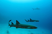 Nurse Shark (Ginglymostoma cirratum) & Caribbean Reef Shark (Carcharhinus perezi)<br /> Marine Megafauna Research. Large marine fish, sharks, rays & turtles.<br /> MAR Alliance<br /> Halfmoon Caye<br /> Lighthouse Reef Atoll<br /> Belize<br /> Central America