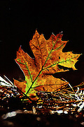 Fallen Oak leaf glows in the late afternoon light - Mississippi