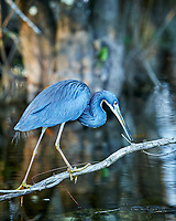 Tricolored perched on a branch in Big Cypress Swamp. Image taken with a Nikon Df camera and 400 mm f2.8 lens (ISO 800, 400 mm, f/4, 1/200 sec).