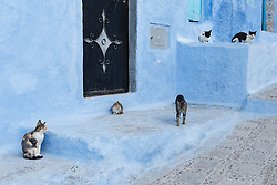 Cats in blue alley, Chefchaouen, Morocco