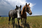 Horses grazing in pasture with Colorado mountains in background. About 10 miles east of Trinidad, Colorado.