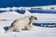 A  polar bear (Ursus maritimus) climbing out of the water onto a snowy bank ,Svalbard, Norway