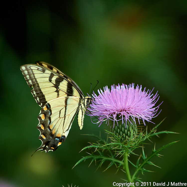 Yellow Swallowtail Butterfly on Thistle Bloom. Sourland Mountain Preserve, Summer Nature in New Jersey. Image taken with a Nikon D3s and 300 mm f/2.8 VR lens + TC-E III 20 teleconverter (ISO 1100, 600 mm, f/5.6, 1/500 sec). Raw image processed with Capture One Pro 6, Nik Define, and Photoshop CS5.