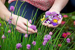 Picking  Allium schoenoprasum - chives - and violas