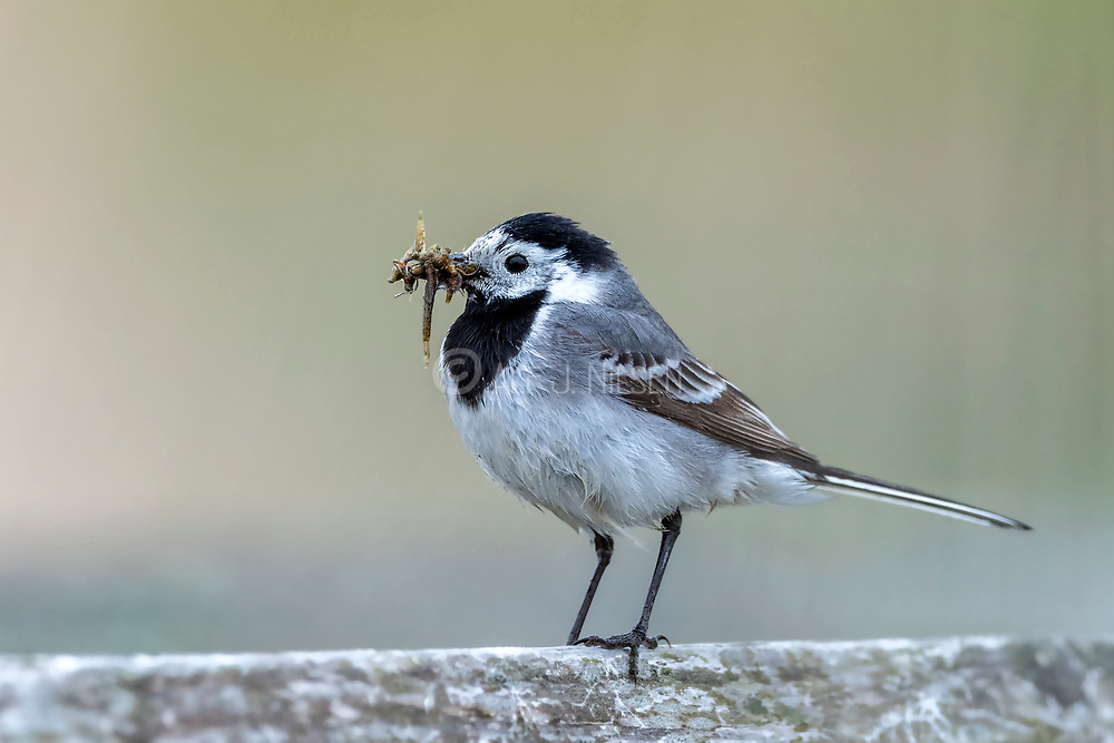 White wagtail (Motacilla alba) with it's beak full of insect larvae to feed to the chicks. photo from Vejlerne, northern Denmark.