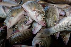 Sand Bass (Morone chrysops)