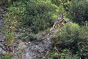 Jungwölfe des «Stagias-Rudels» in der oberen Surselva, Graubünden.